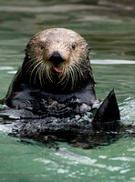 Lunchtime Sea Otter